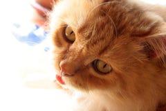 Μεγάλος-eyed γάτα Στοκ Φωτογραφία