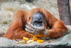 Μεγάλος orangutan Στοκ φωτογραφίες με δικαίωμα ελεύθερης χρήσης