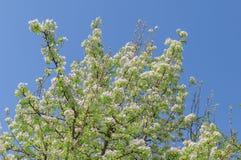 Μεγάλο άσπρο δέντρο μηλιάς της Apple όμορφο ανθίζοντας που ανθίζει με το blu Στοκ Εικόνες