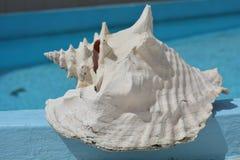 Μεγάλο, άσπρο θαλασσινό κοχύλι Στοκ Εικόνα