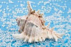 Μεγάλο άσπρο κοχύλι σε ένα γλυκό νερό όπως το μπλε υπόβαθρο Στοκ εικόνες με δικαίωμα ελεύθερης χρήσης