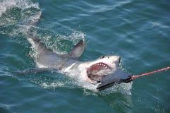 Μεγάλο άσπρο να επιτεθεί καρχαριών Στοκ Εικόνες