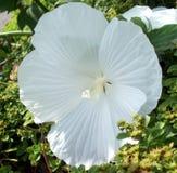 Μεγάλο άσπρο λουλούδι Στοκ εικόνα με δικαίωμα ελεύθερης χρήσης