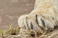 Μεγάλο άσπρο πόδι λιονταριών που στηρίζεται σε κάποια χλόη Στοκ εικόνες με δικαίωμα ελεύθερης χρήσης