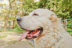 Μεγάλο άσπρο σκυλί Στοκ εικόνες με δικαίωμα ελεύθερης χρήσης