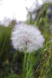 Μεγάλο άσπρο χνουδωτό λουλούδι πικραλίδων Απόμακρος συγγενής της πικραλίδας - Salsify Λουλούδι Tragopogon στοκ εικόνες