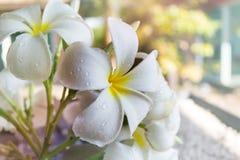Μεγάλο άσπρο frangipani ή plumeria λουλουδιών με την πτώση νερού στο όνειρο Στοκ φωτογραφία με δικαίωμα ελεύθερης χρήσης