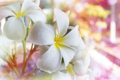 Μεγάλο άσπρο frangipani ή plumeria λουλουδιών με την πτώση νερού στο όνειρο Στοκ Εικόνες