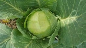 Μεγάλο λάχανο στον κήπο Στοκ Φωτογραφίες