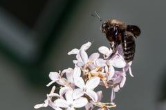 Μεγάλο έντομο στα ιώδη λουλούδια Στοκ Εικόνες