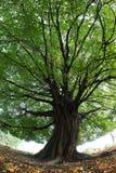 Μεγάλο δέντρο επιβολής με εντυπωσιακό πράσινο treetop Στοκ Εικόνες