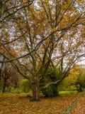 Μεγάλο δέντρο με έναν κλάδο Στοκ Εικόνα