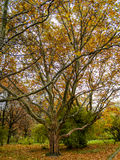 Μεγάλο δέντρο με έναν κλάδο Στοκ Εικόνες