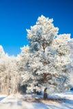Μεγάλο δέντρο πεύκων με το hoarfrost ενάντια στο μπλε ουρανό Στοκ Εικόνες