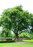 Μεγάλο δέντρο σε Sukhothai, Ταϊλάνδη στοκ εικόνα