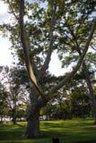 Μεγάλο δέντρο στον πράσινο τομέα στο πάρκο Στοκ φωτογραφία με δικαίωμα ελεύθερης χρήσης
