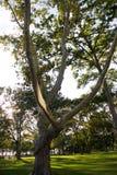 Μεγάλο δέντρο στον πράσινο τομέα χλόης Στοκ φωτογραφία με δικαίωμα ελεύθερης χρήσης