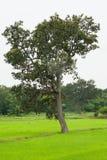 Μεγάλο δέντρο στους πράσινους τομείς Στοκ εικόνα με δικαίωμα ελεύθερης χρήσης
