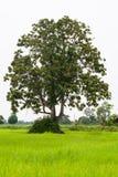 Μεγάλο δέντρο στους πράσινους τομείς Στοκ εικόνες με δικαίωμα ελεύθερης χρήσης