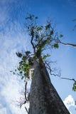 Μεγάλο δέντρο στο τροπικό δάσος του ανατολικού Μπόρνεο, Kalimantan Ινδονησία Στοκ Φωτογραφίες