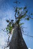 Μεγάλο δέντρο στο τροπικό δάσος του ανατολικού Μπόρνεο, Kalimantan Ινδονησία Στοκ Εικόνες