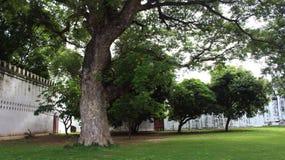 μεγάλο δέντρο φελλού Στοκ φωτογραφία με δικαίωμα ελεύθερης χρήσης