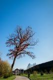 Μεγάλο δέντρο χωρίς φύλλα το καλοκαίρι με τον πράσινο μπλε ουρανό χλόης Στοκ φωτογραφίες με δικαίωμα ελεύθερης χρήσης