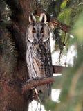 Μεγάλο έχον νώτα Owl_2 Στοκ φωτογραφία με δικαίωμα ελεύθερης χρήσης