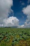 Μεγάλο αγρόκτημα λάχανων Στοκ φωτογραφία με δικαίωμα ελεύθερης χρήσης