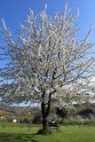 Μεγάλο ανθίζοντας δέντρο στοκ φωτογραφία με δικαίωμα ελεύθερης χρήσης