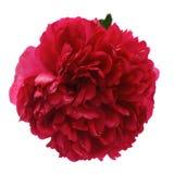 Μεγάλο ανθίζοντας ιαπωνικό κόκκινο peony λουλούδι που απομονώνεται στο άσπρο υπόβαθρο Στοκ Εικόνα