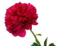 Μεγάλο ανθίζοντας ιαπωνικό κόκκινο peony λουλούδι Στοκ Φωτογραφίες