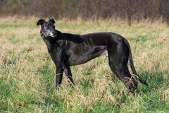 Μεγάλο ανώτατο Greyhound Στοκ Φωτογραφίες