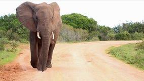 Μεγάλο αρσενικό αφρικανικό περπάτημα ελεφάντων απόθεμα βίντεο