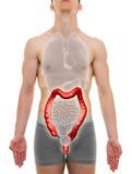 Μεγάλο αρσενικό εντέρων - εσωτερική ανατομία οργάνων - τρισδιάστατη απεικόνιση Στοκ Εικόνες