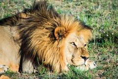 Μεγάλο αρσενικό λιοντάρι που καθορίζει σε μια αφρικανική σαβάνα κατά τη διάρκεια του ηλιοβασιλέματος Στοκ Φωτογραφίες