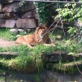 μεγάλο αρσενικό λιονταριών Στοκ Εικόνα