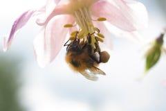 Μεγάλο δασύτριχο bumblebee το συλλέγοντας νέκταρ από μακροεντολή aquilegia †«στο kontrovy φως Στοκ φωτογραφία με δικαίωμα ελεύθερης χρήσης
