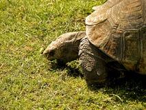Μεγάλο αφρικανικό Tortoise στοκ φωτογραφίες με δικαίωμα ελεύθερης χρήσης