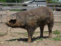 Μεγάλο βρώμικο γουρούνι Στοκ Φωτογραφία