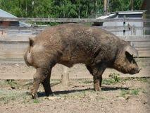 Μεγάλο βρώμικο γουρούνι Στοκ Εικόνες