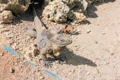 Μεγάλο γκρίζο iguana Στοκ φωτογραφία με δικαίωμα ελεύθερης χρήσης