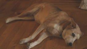 Μεγάλο ενήλικο σκυλί που βάζει στο πάτωμα απόθεμα βίντεο