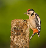 Μεγάλο επισημασμένο πουλί δρυοκολαπτών Στοκ εικόνα με δικαίωμα ελεύθερης χρήσης