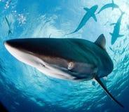 μεγάλο λευκό καρχαριών Στοκ Φωτογραφίες
