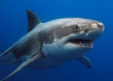 μεγάλο λευκό καρχαριών Στοκ Εικόνα