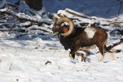 Μεγάλο ευρωπαϊκό moufflon στο δάσος, άγριο ζώο στο βιότοπο φύσης Στοκ Φωτογραφίες