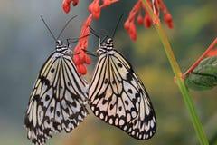 Μεγάλο ζευγάρωμα πεταλούδων νυμφών δέντρων Στοκ Φωτογραφίες