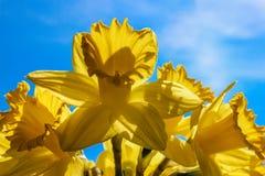 Μεγάλο ηλιόλουστο κίτρινο Daffodils που δείχνεται τον ουρανό όπως τις σάλπιγγες Στοκ Φωτογραφία
