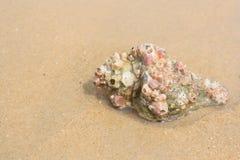 Μεγάλο θαλασσινό κοχύλι στην άμμο στην παραλία Στοκ φωτογραφία με δικαίωμα ελεύθερης χρήσης